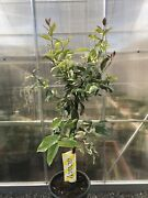 Rare Exotic Variegated Eureka Pink Lemon Tree 3 Feet Tall Plant Live And Healthy