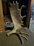 Naturally Shed Ontario Moose Antler Horn Carving Taxidermy Free Standing Art 32