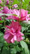 13 Cuttings Of A Hot Pink Double Blossom Rose Of Sharon Hibiscus Flower Bush