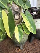 Rare Half Moon Philodendron Variegated Burle Marx With New Growth Aroid