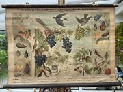 Vintage Grapes And Raspberry And Pests School Chart Educational Wall Chart Botany