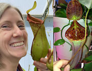 Nepenthes St. Pacificus X Lowii X Campanulata. Seed Grown Plant 2