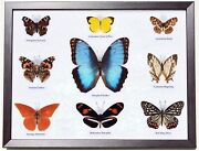 9 Rare Real Butterflies In Framed Display Peleides Blue Morpho Taxidermy