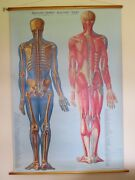 Rare Vintage Roll Down Medical School Anatomy Chart Skeleton And Muscle Posterior