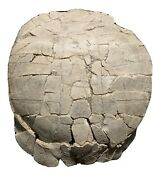 Huge Fossil Tortoise Turtle Shell Stylemys Nebrascensis For Sale