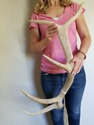 5 Point Wyoming Elk Antler Shed Natural Chew Knife Organic Decor Rustic