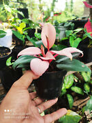 Philodendron Pink Congo House Plants Seed Bulbs Outdoor Living Plants