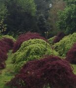 Enormous Red And Green Cut Leaf Japanese Maple Contact To Dig Whole Field