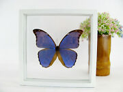 3d Beautiful Butterfly - Blue Morpho - Morpho Didius - In Box - Real - Taxidermy
