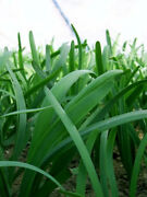 150+ Garlic Chiveandnbsp Roots Chinese Leek Rootsnot Seeds Non-gmo Organic