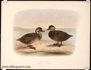 Scoter Immature Stages / 1887