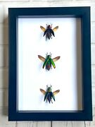Jewel Beetle Collection Buprestidae Deep Shadow Box Frame Display Case Insect