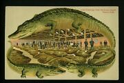 Alligator Border Postcard Tobacco Sale Greetings From Sunny South Industry S635