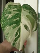 Monstera Albo Variegated Rare Houseplant Well Rooted
