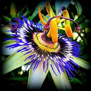 Blue Passion Flower Seeds Passiflora Large, Attracts Hummingbirds And Butterflies