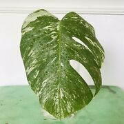 Rare Variegated Monstera Deliciosa Leaf Rooted Cutting Plant Live