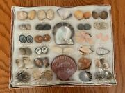 Vintage 44+ Sea Shell Pearl Collection Display Piece From Japan