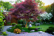 2 Red Japanese Maple Bloodgood Trees 1 Ft Landscape Bonsai , Fall Shipping