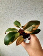 5-6 Andlsquo Leaves Excellent Grade A Form Variegated Philodendron Black Cardinal