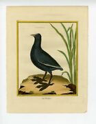 Original 18th C. Coot Engraving By Martinet Antique Hand Colored Print