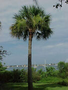 20 Hardy Sabal Palm Cabbage Palmetto Seeds - Recently Picked