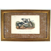 Semipalmated Snipe Or Willet From The Birds Of America By John James Audubon
