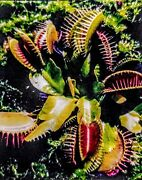 500 Bare Root Venus Flytrap Dionaea Muscipula Message 4 Small Order And Low Price