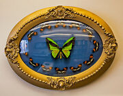 Victorian Birdwing Butterfly Display In Antique Bubble Glass Frame