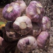 Garlic Cloves 5 - 100 Cloves And039early Purple Wightand039 Hardy From Bulbs Uk Seller