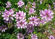 Crown Vetch Seeds For Wildlife Food Plots And Soil Erosion Control 10000 Seeds