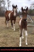 Horse Pregnancy Test- Check To See If Your Mare Is Bred