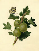 Gooseberry Branch With Butterfly Andndash Early 19th-century Watercolour Painting