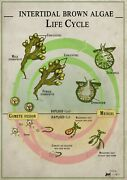 Brown Algae Life Cycle Biology Poster Canvas Picture Art Movie Car Game Film