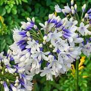 3 Twister - Agapanthus/lily Of The Nile Tuber/bulb - Blooming Size Us Seller