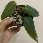 Promo 1 Package 1 Plant Philodendron Gigas Free Philodendron Pink Congo./