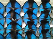 Papilio Ulysses - A Lot Of 5 A1 Extra Large Unmounted Swallowtails Ambon Isl.