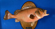 Strawberry Grouper Real Mount Taxidermy Antique Rare Vintage Calico Florida Keys