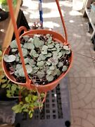 Ceropegia Woodii 4 - In 6 Hanging Basket - Soil And Hanging Basket Included