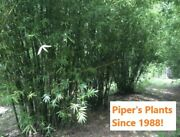 Seabreeze Live Bamboo Plant Tropical Clumping Bamboo Privacy Fence-plant Now