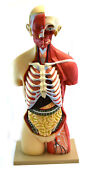 35 Female Life Size Human Torso 19 Part Highly Detailed Model