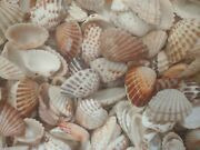 Lot Of 100 Broad Ribbed Cardita Shells- Clean And Polished Great For Crafts/decor