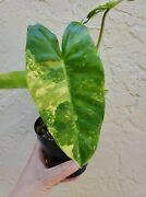 Rare Philodendron Variegated Burle Marx Aroid Houseplant. Shipped Bare Root.