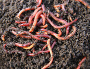 250 Live Baby Red Wiggler Worms For Composting Fish Lizard Or Turtle Food