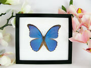 Beautiful Butterfly - Blue Morpho - Morpho Didius - In Frame Real - Taxidermy
