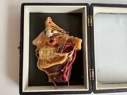 Antique German Wax Model Of The Dissected Head. And039 Lehrmittelwerke And039 Circa 1910.