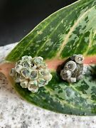 Decorator Olive Nerite Snail 5 Lot Live Barnacle Shell Algae Eater Look Awesome