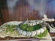 Timber Rattlesnake Real Taxidermy Mount