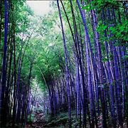 200+ Purple Bamboo Seeds For Planting, Privacy Screen, Plants Seeds
