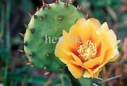 6 Pads Eastern Prickly Pear Cactus Beaver Tail Colder Than Zone 5