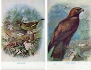 Greenfinch Or Golden Eagle Beautiful Colour Vintage Bird Print By George Rankin